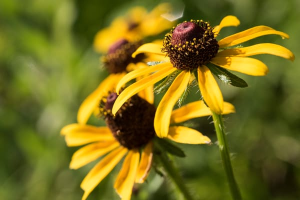 Black-eyed Susan Flowers, Damon, Texas