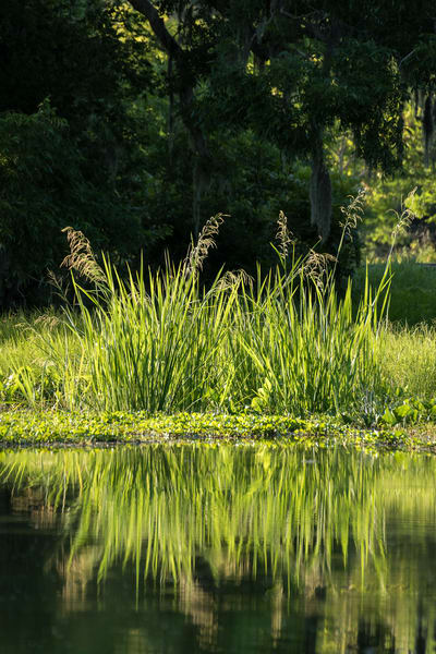 Reeds Reflecting in Slough Vertical, Damon, Texas