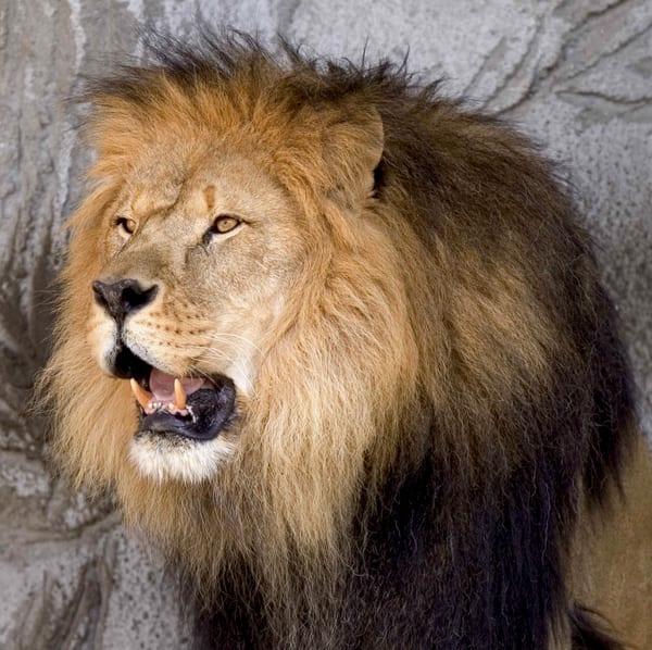 Another Lion Shot Art | DocSaundersPhotography