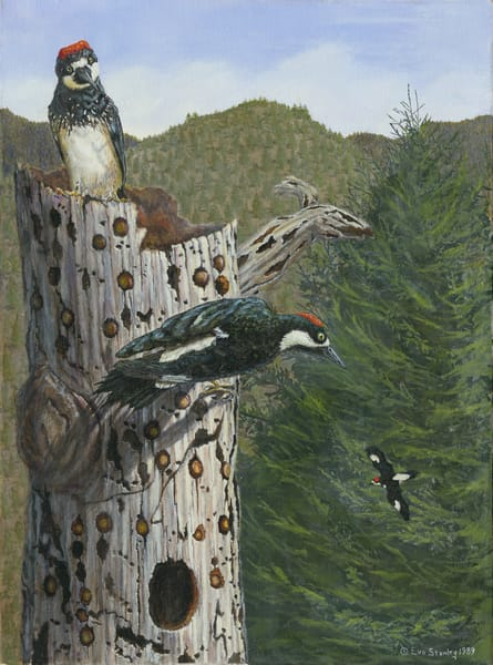 """""""Guarding The Cache""""   Acorn Woodpeckers Art 