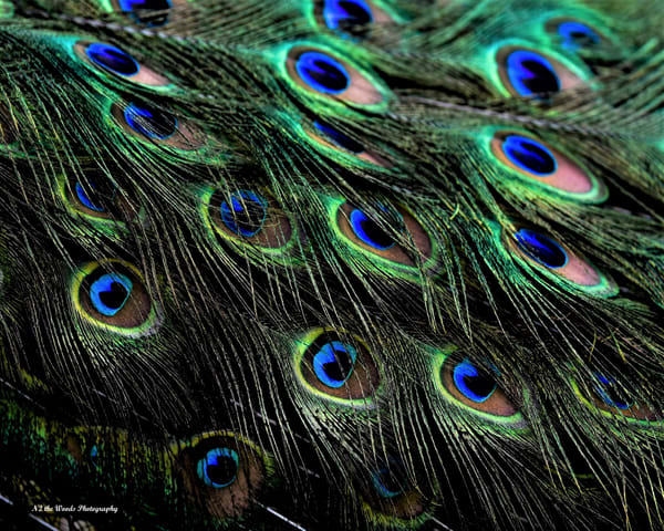 Peacock Feathers Photography Art | N2 the Woods Photography