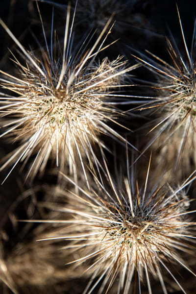 Exploding Hedgehog Cactus Photography Art | Spry Gallery