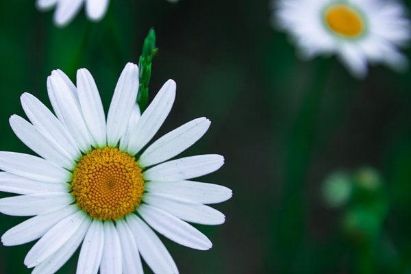Wild Daisies Photography Art | Spry Gallery