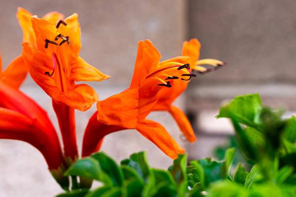 Honeysuckle Flowers Photography Art | Spry Gallery