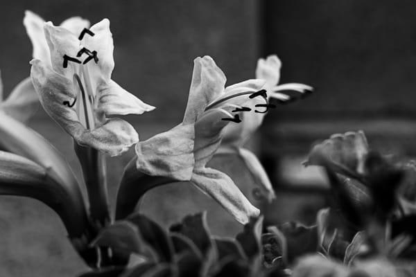 Honeysuckle Flowers Bn W Photography Art | Spry Gallery