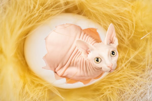 The Yolk of Faberge