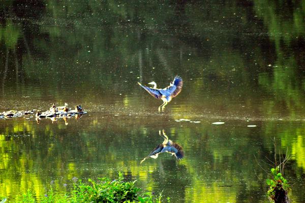 Great Blue Heron Delaware River