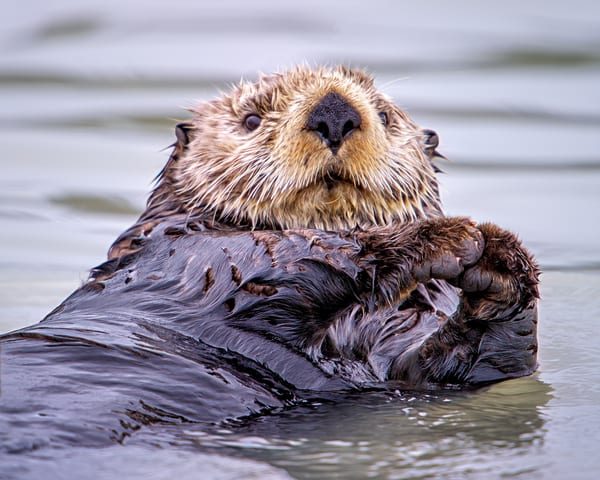 Sea Otter Photography Art | Carol Brooks Parker Fine Art Photography