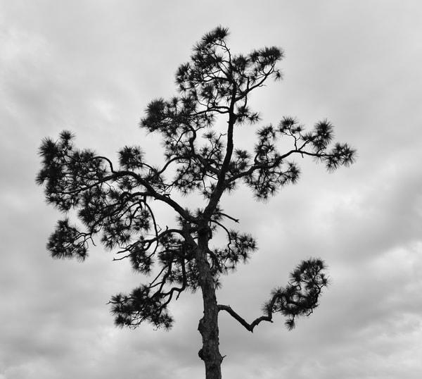 Florida Pine Art   Renee Bitinas Fine Art