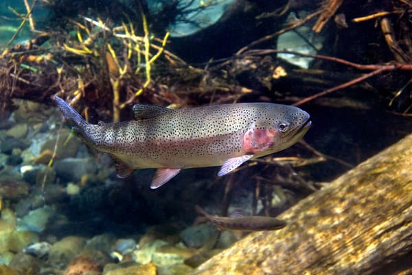 Steelhead  # 3351 Photography Art | Mary Edwards Photography