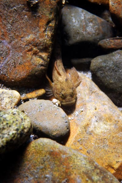 River Sculpin  # 8352 Photography Art | Mary Edwards Photography