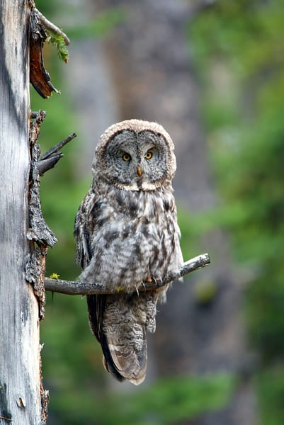 Great Grey Owl Photography Art | Nature's Art Productions
