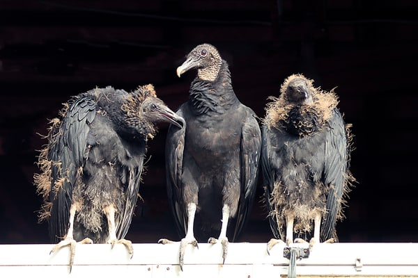 Black Vulture Female And Chicks Photography Art | Nature's Art Productions