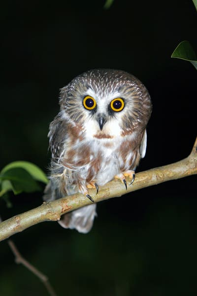 Saw Whet Owl Photography Art | Nature's Art Productions