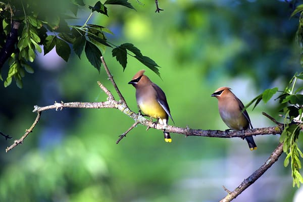 Two Cedar Waxwings Photography Art | Nature's Art Productions