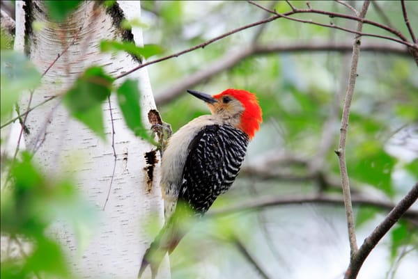 Woodpecker Photography Art | Nature's Art Productions