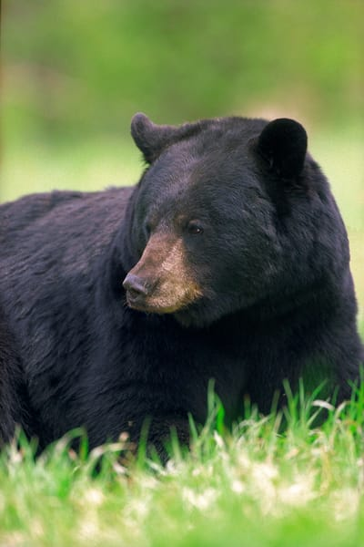 Black Bear (Bor) Photography Art | Nature's Art Productions