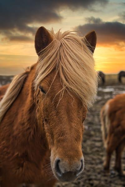Icelandic Horse at sunset at Vestrahorn