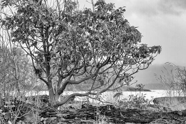 Terrill Bodner Photographic Art | Arbutus Tree