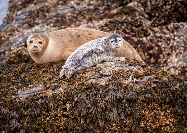Harbor Seal And Pup Photography Art | Carol Brooks Parker Fine Art Photography