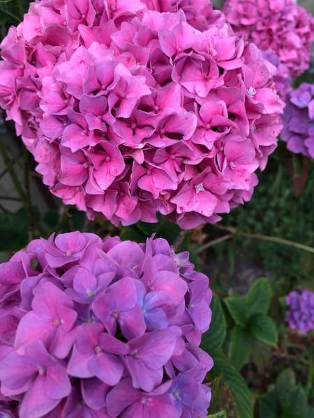 Hydrangea Flowers Art | Off The Edge Art