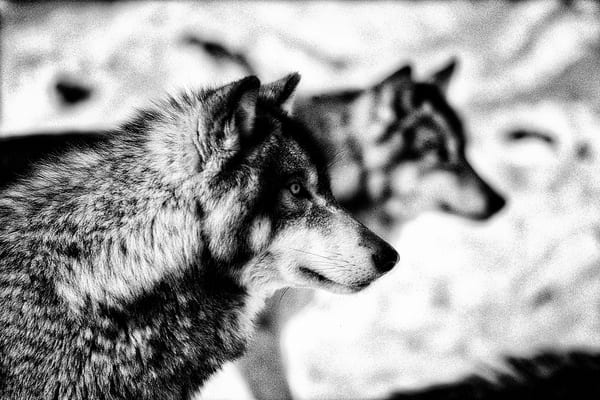 Wolf Pack Photography Art | Nature's Art Productions