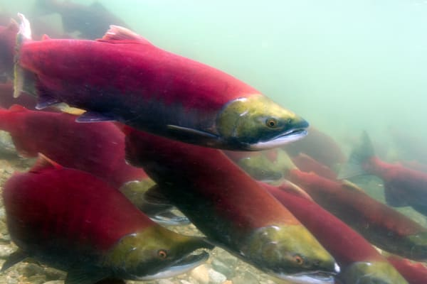 Sockeye  # 8607 Photography Art | Mary Edwards Photography