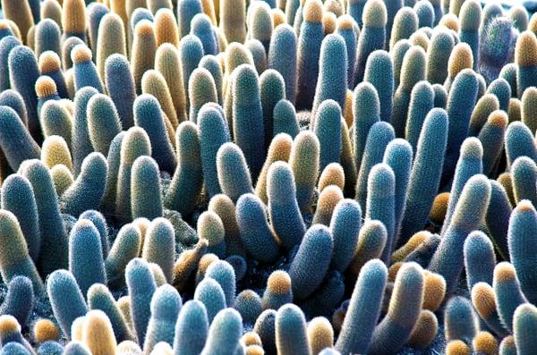 Phallic Cacti