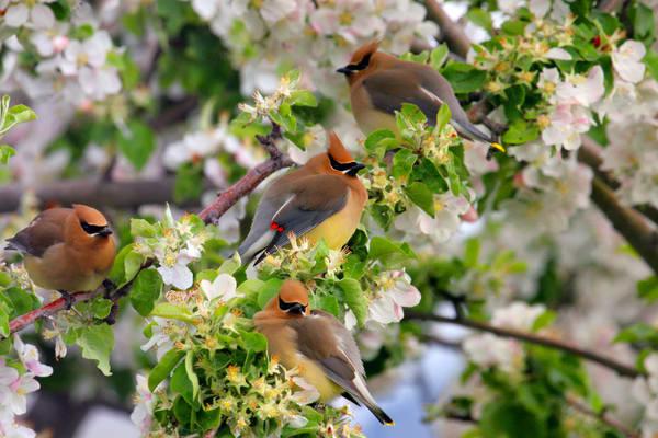 Cedar Wax Wings   # 2496 Photography Art | Mary Edwards Photography