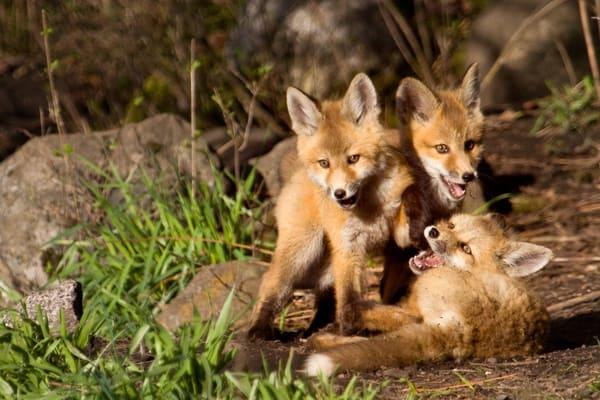 Red Fox Kits   #  0972 Photography Art | Mary Edwards Photography