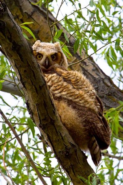 Juvenile Great Horned Owl   # 6051 Photography Art | Mary Edwards Photography