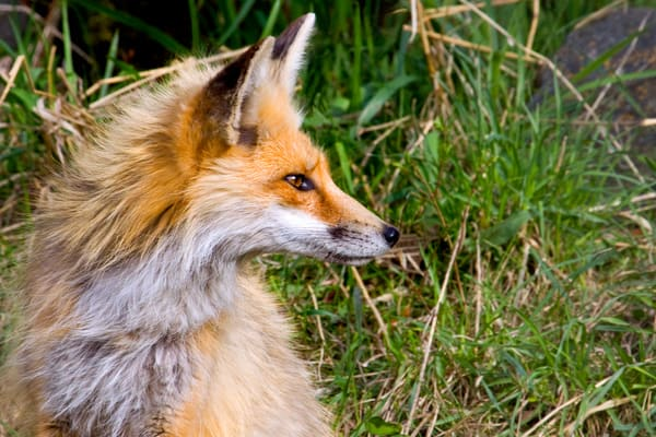 Red Fox   # 0787 Photography Art | Mary Edwards Photography
