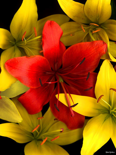 Lilies Red And Yellosquare  Photography Art   Koral Martin Healthcare Art