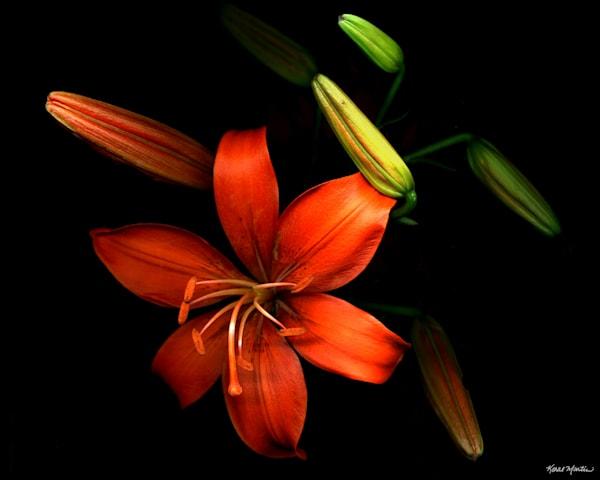 Lily Orange2  Photography Art   Koral Martin Healthcare Art