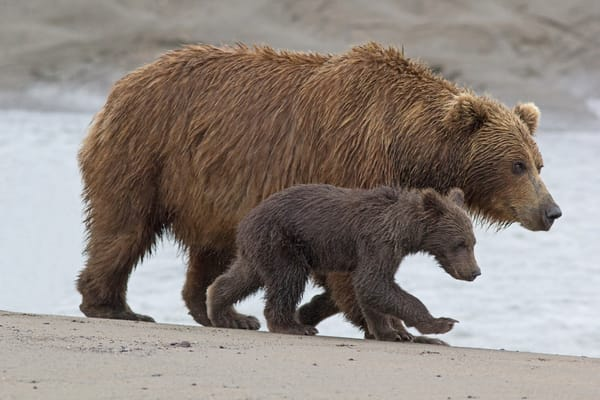 """Stick With Me, Kid...""   Alaskan Brown Bear Sow And Cub Art 