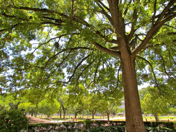 Large Tree On National Mall, Washington Dc Art | artalacarte