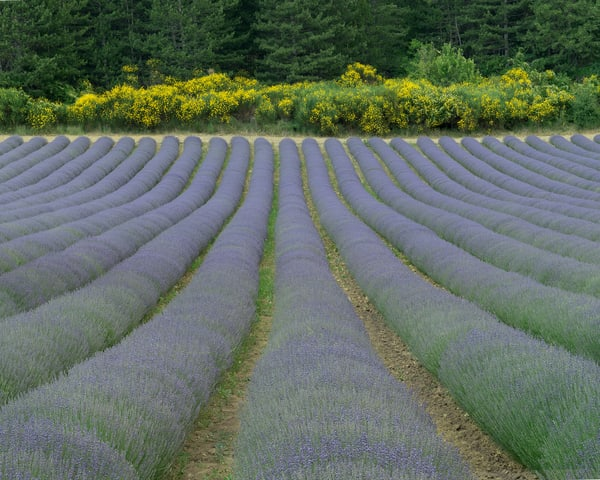 Lavender and Yellow Field Provence