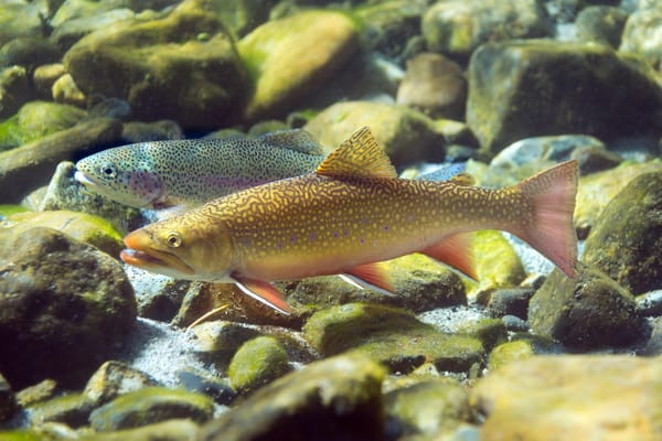 Trout & Other Freshwater Species
