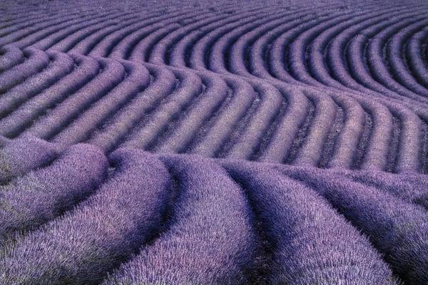 Purple Patterns in Lavender Field