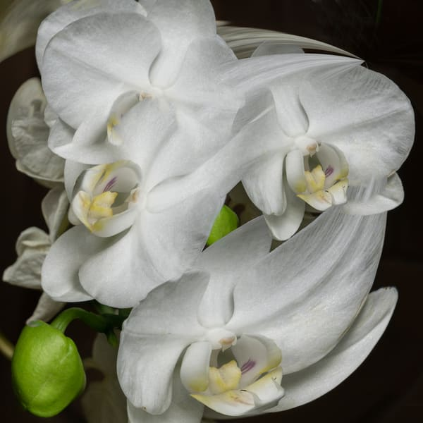 Orchid Frenzie