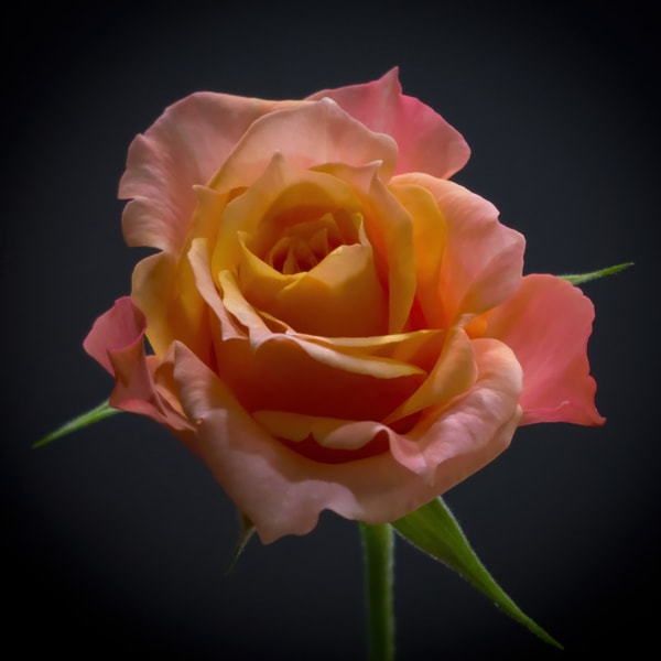 Miniature Rose Photography Art | FocusPro Services, Inc.