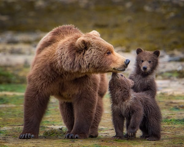 Coastal Brown Bear With Her Two Cubs Photography Art | Carol Brooks Parker Fine Art Photography