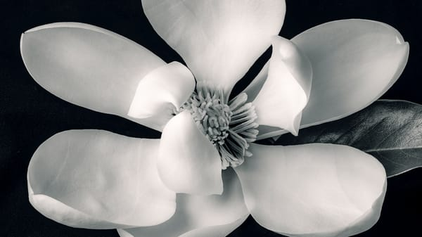 Magnolia Flower Print Black and White