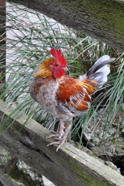 Scott McKay - photography - nature - Willowbank Wildlife Reserve - Rooster