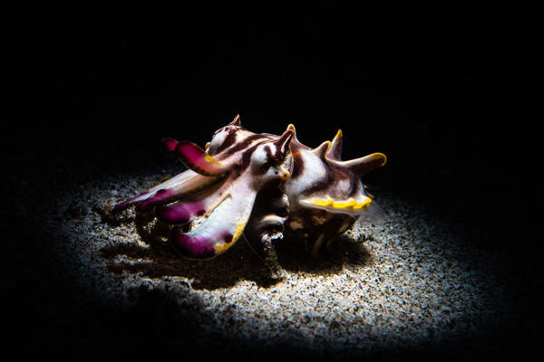 Flamboyant Cuttlefish is a marine animal portrait taken underwater and offered as a fine art photograph for sale.