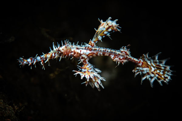Ornate Ghost Pipefish is a marine animal portrait available as a fine art photograph for sale.