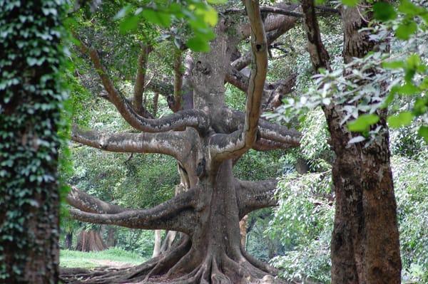 Botanical Gardens, Kandy Art | PMELArts