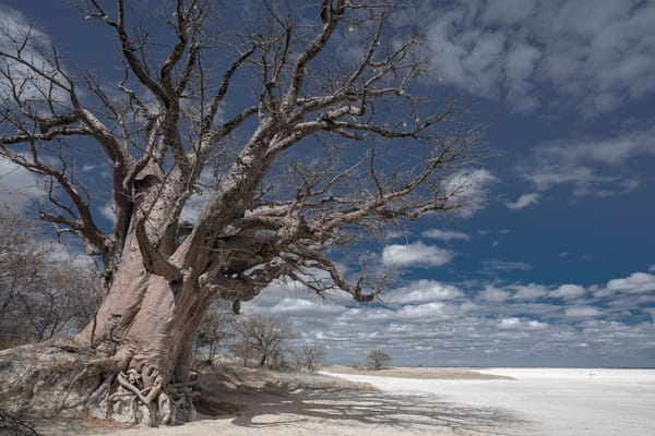 Baines baobabs