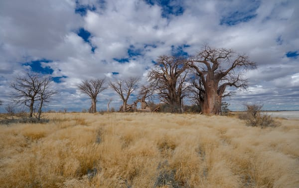 Baines Baobabs. The Royal Trees. Photography Art | Tolowa Gallery