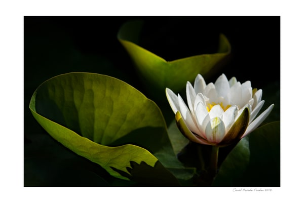 White Waterlily   Signed 2012 Photography Art | Carol Brooks Parker Fine Art Photography
